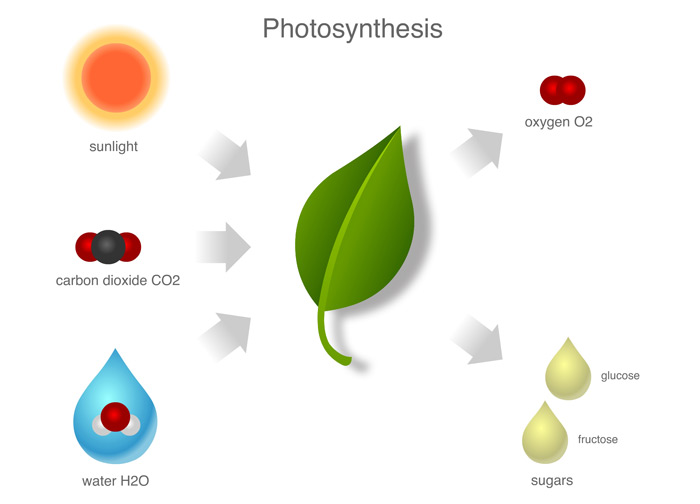 Photosynthesis-Infographic-700px