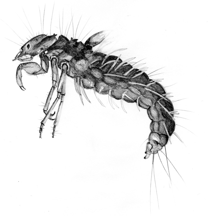 SLB-caddisfly_larvae