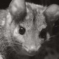 The return of the quolls