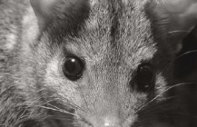 FAME: An investment prospectus for the return of the quolls